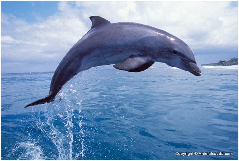 bottlenose-dolphin-9